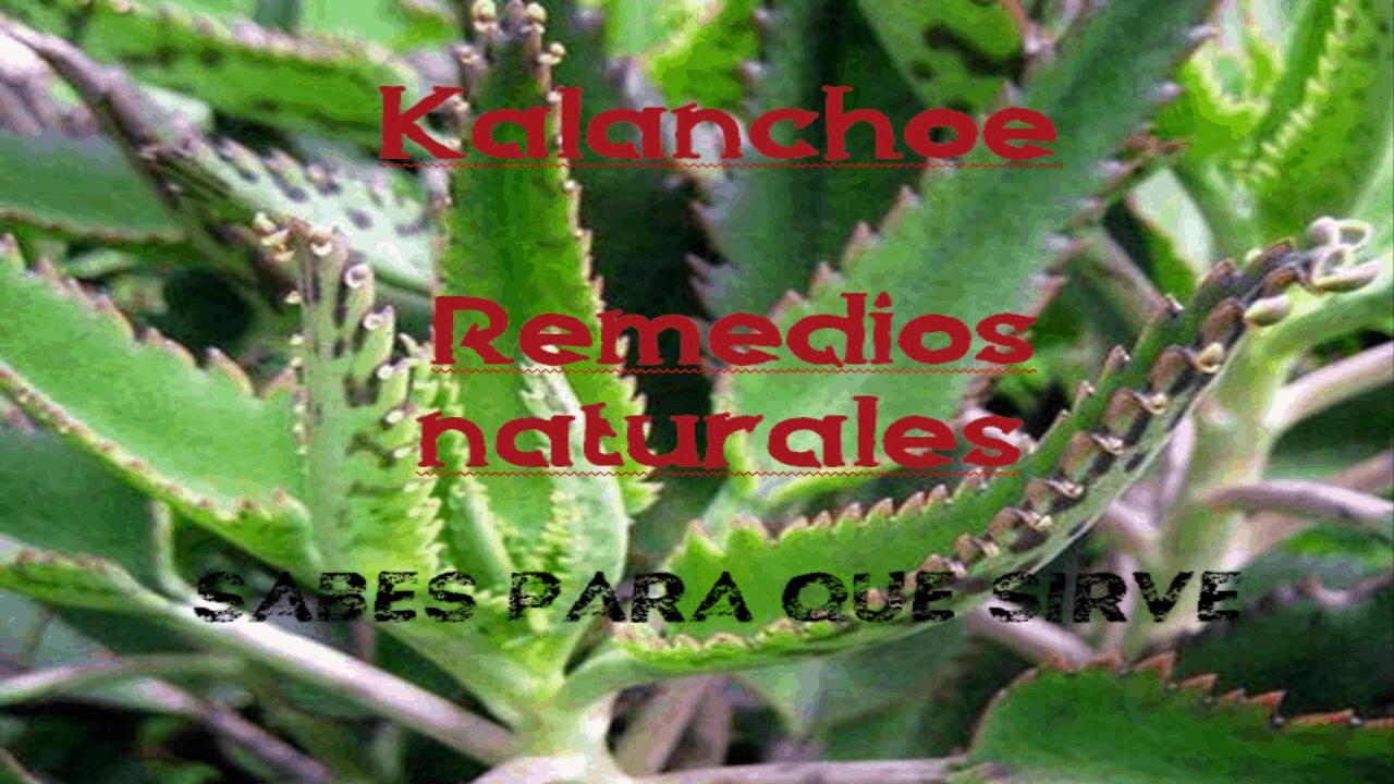 Kalanchoe Esta planta mata las células cancerígenas